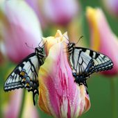 Two Swallowtail Butterflies on Tulip