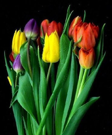 Bright tulips in the dark