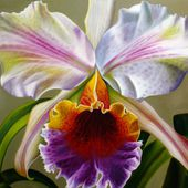 Beautiful Cattleya Orchid