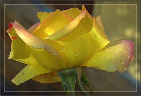 yellow roses with water drops - photo #11
