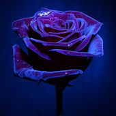 Velvet Purple Rose