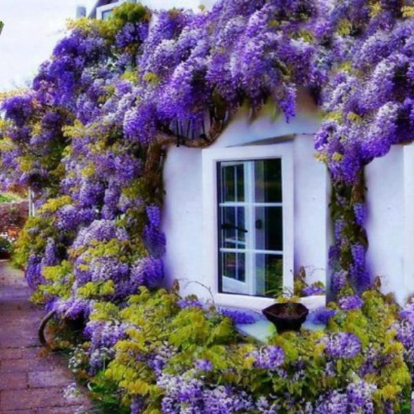 A Wisteria Covered Cottage