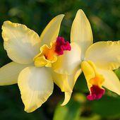 Pretty yellow orchids
