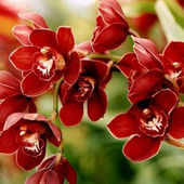 Dark red orchids