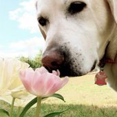 Cute puppy loves tulips!
