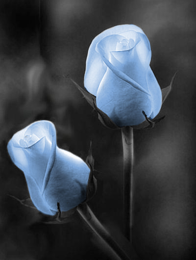 Two beautiful Blue roses