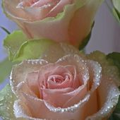 Tea roses with dew drops