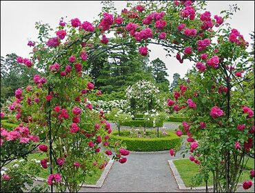 Beautiful rose garden
