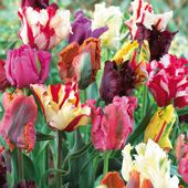 Colorful parrot tulips