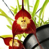 Exotic Monkey Orchid