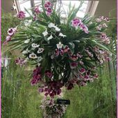 Orchids in hanging basket
