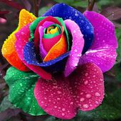 Rainbow Rose with Raindrops