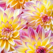 Amazingly beautiful Dahlias