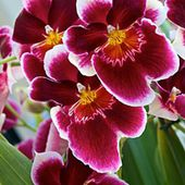 Beautiful red orchids