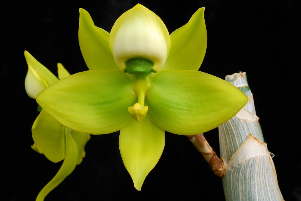 'Giant Swan' Orchid