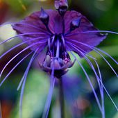 Black bat orchid