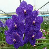 Vanda Pachara Delight FCC/JOGA
