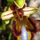 Mirror orchid (Ophrys speculum)