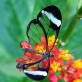 Transparent Glass-wing Butterfly