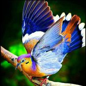 Amazing Fruit Dove