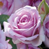 Enchanted Evening Rose