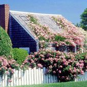 Climbing roses and a picket fence