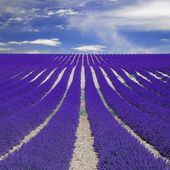 Fields of lavender, Provence, France