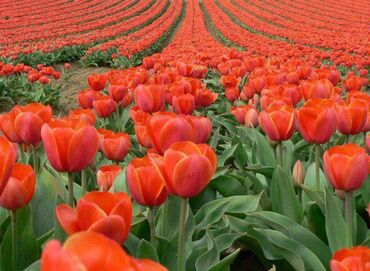 Tulip Fields, the Netherlands