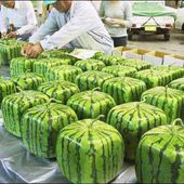 Japanese 'Square Watermelons'