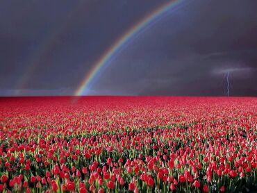 Amazing field of tulips
