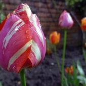 Striped tulip with raindrops