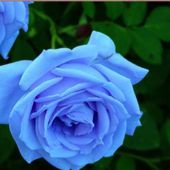Unusual blue roses