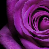 Purple rose in the dark