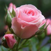 Tender pink rose with buds