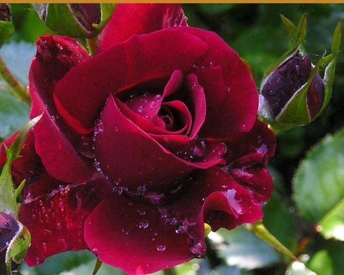 Velvet red rose with water drops
