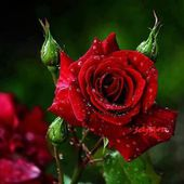 Red roses with dew