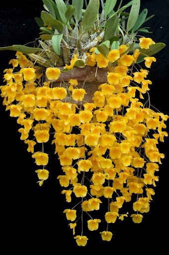 Dendrobium lindleyi (Orchid Family)