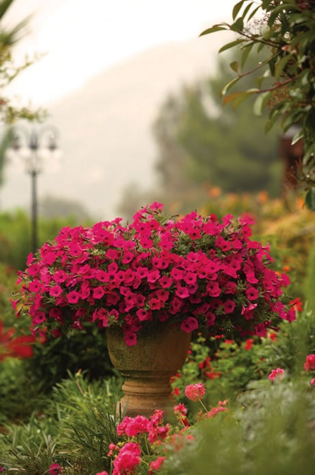 Gorgeous petunias