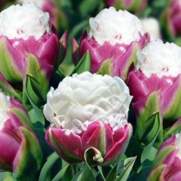 tulipa double late 39 ice cream 39. Black Bedroom Furniture Sets. Home Design Ideas