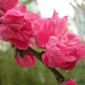 Pink Peach blossom flowers