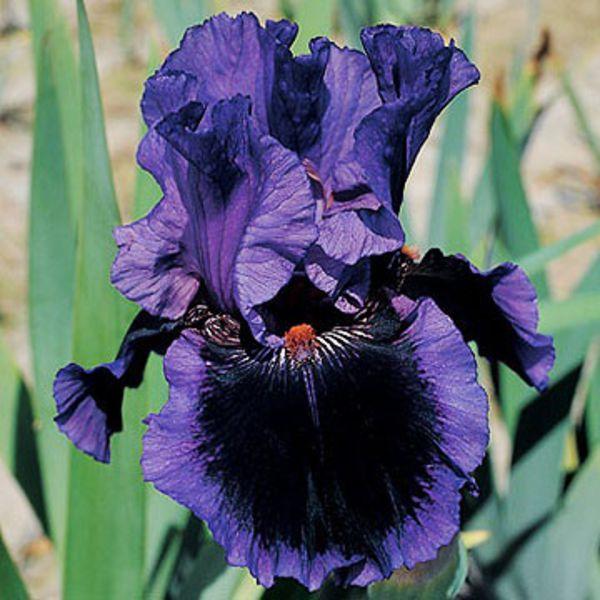 iris bloom. Black Bedroom Furniture Sets. Home Design Ideas