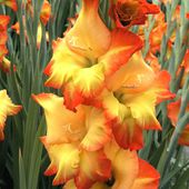 Awesome Gladiolus