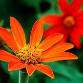 Tithonia, Mexican Sunflower