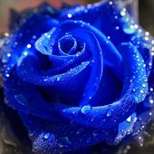 Blue rose with drops