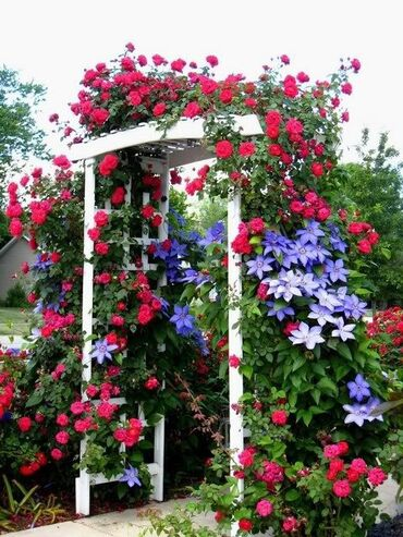 Arbor covered with roses & clematis