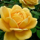 'Golden Celebration' rose