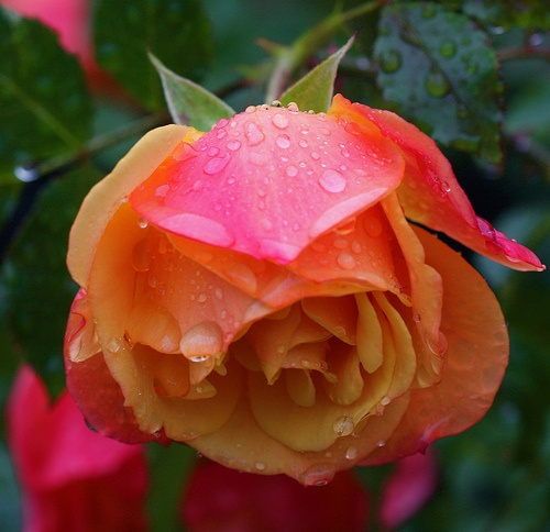 Awesome Rose with Dew