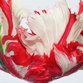 Red/white striped parrot tulip
