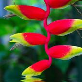Beautiful Heliconia