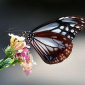 Chestnut Tiger Butterfly